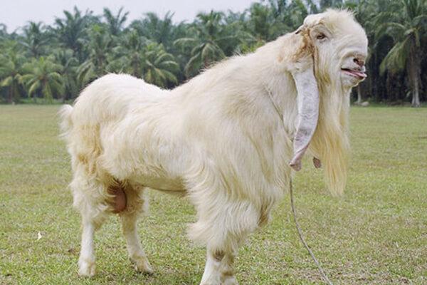 cara ternak kambing jamnapari