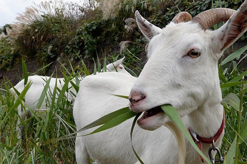 Makanan Kambing Selain Rumput