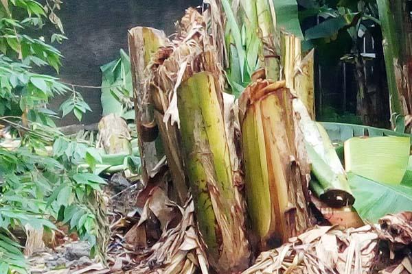 Makanan Kambing Selain Rumput pisang