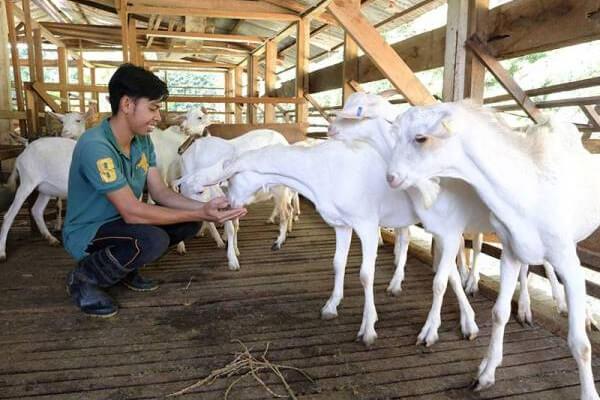 pengusaha kambing ternakan bagi makan