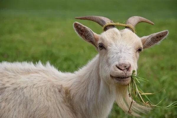cara bela kambing secara kecil kecilan