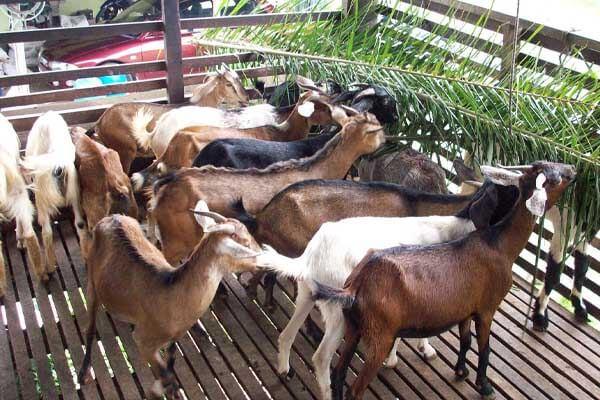 kaedah ternak kambing kampung