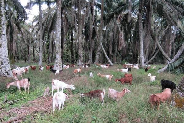 kambing kampung diternak secara  ekstensif