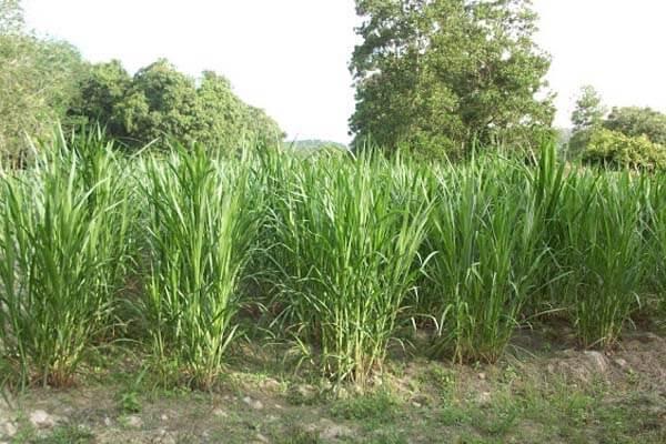 cara tanam rumput napier makanan kambing kampung
