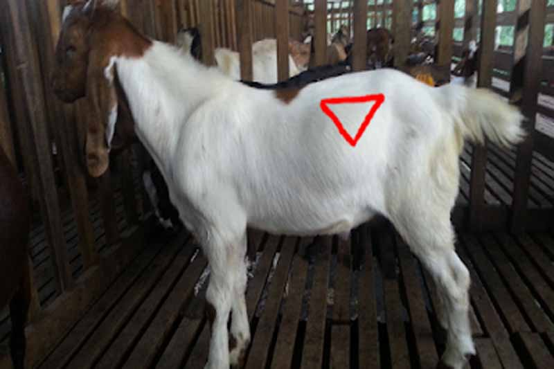 masalah kambing kembung penternakan