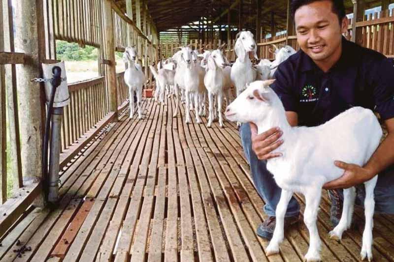 modal ternak kambing