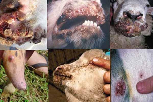penyakit puru kambing rawatan