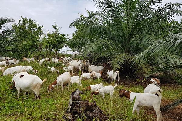cara penjagaan kambing lepas bebas