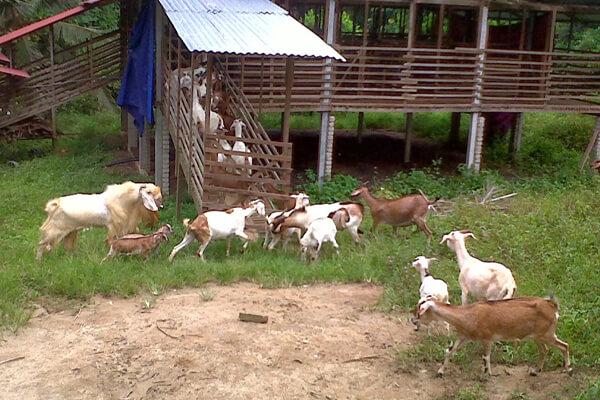cara penjagaan kambing secara separa intensif