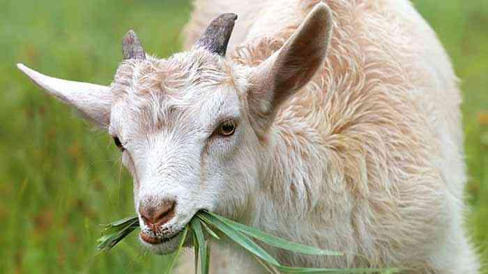 cara penjagaan kambing
