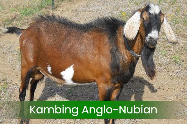 jenis-jenis kambing anglo nubian
