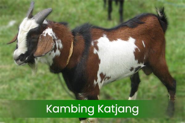 jenis-jenis kambing katjang